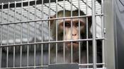 Abgastests mit Affen: Merkel rügt Tierversuche