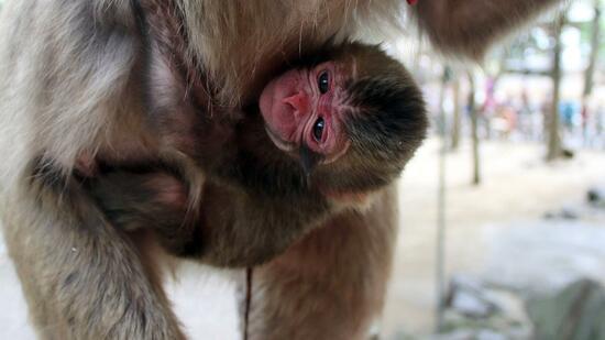 starke proteste japanischer zoo nennt baby affe charlotte. Black Bedroom Furniture Sets. Home Design Ideas
