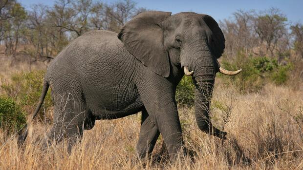 Gefährdete Tierart: Trump hebt Import-Verbot für bei Jagd getötete Elefanten auf