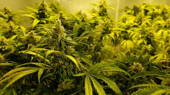 cannabis als medizin deutschland sucht hanf anbauer. Black Bedroom Furniture Sets. Home Design Ideas