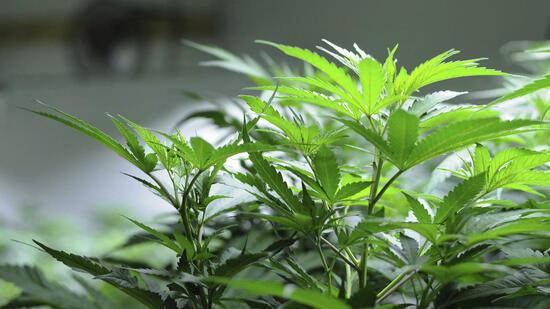 marihuana vermischung von freizeitkonsum und medizinischem bedarf. Black Bedroom Furniture Sets. Home Design Ideas