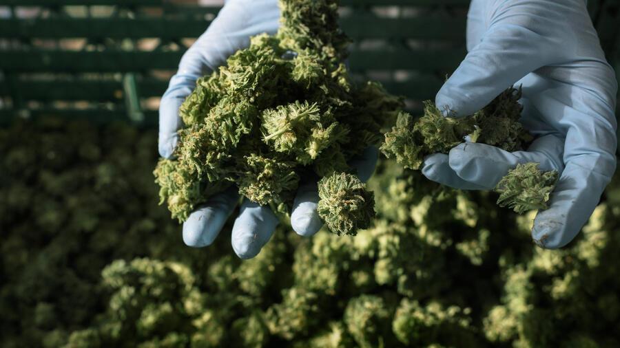 Firmen verbünden sich zum weltgrößten Cannabis-Anbieter