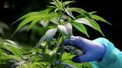 Medizinalhanf: Die restlichen Zuschläge für den Cannabis-Anbau sind erteilt