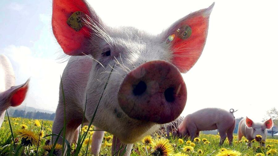 Schweine Als Haustiere