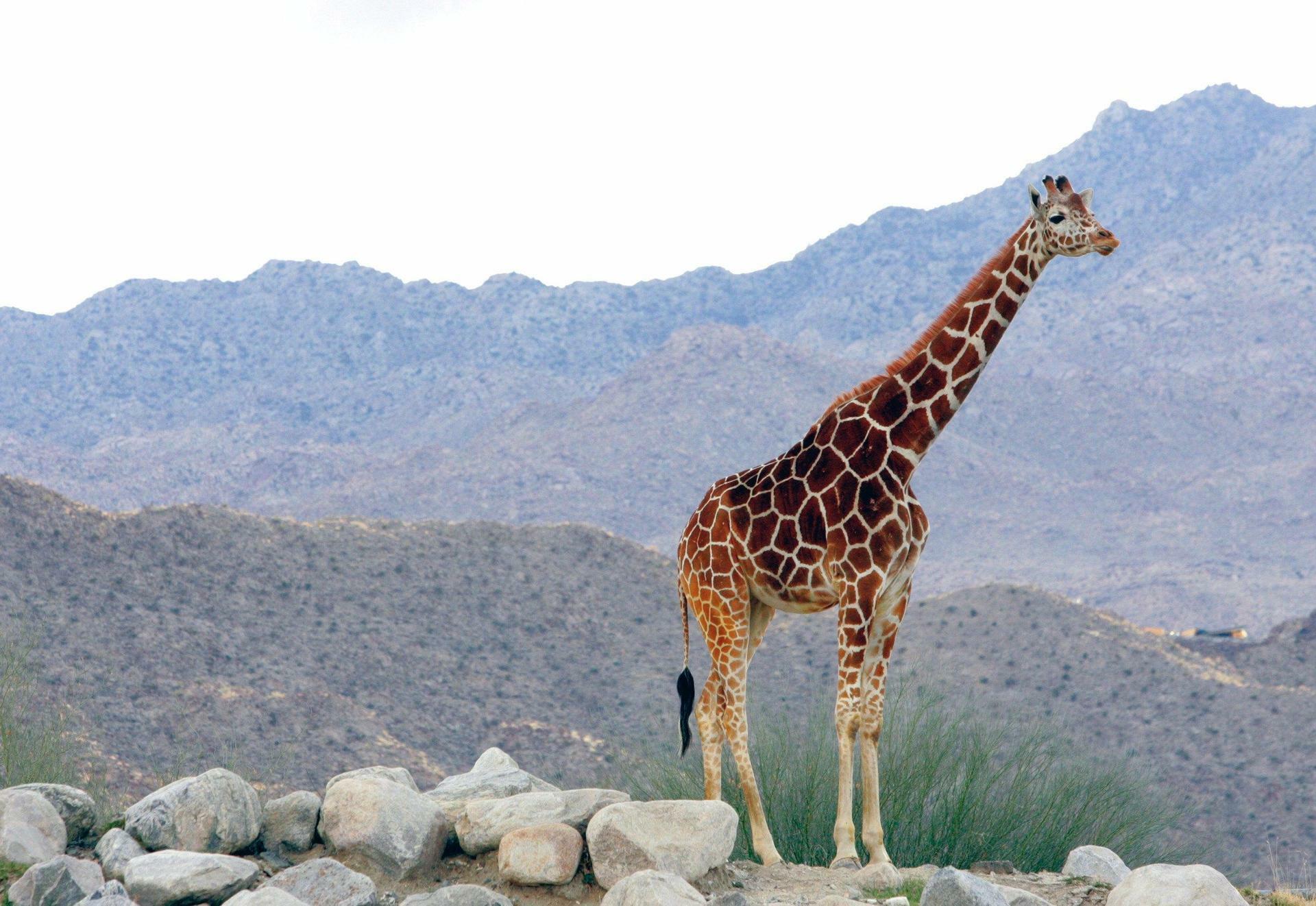 Evolution: Wie die Giraffe ihren langen Hals bekam