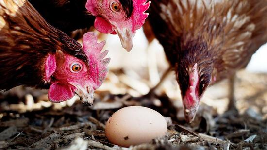 Auch Schweizer Supermarktkette zieht belastete Eier zurück