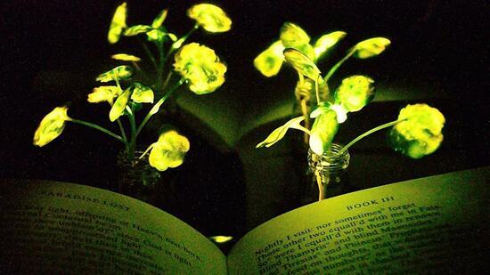MIT-Forscher lassen Pflanzen leuchten