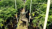Medizinalhanf: Der Anbau von Cannabis in Deutschland startet