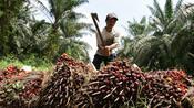 Konsumgüterriese: Neue Vorwürfe gegen Palmölzulieferer von Nestlé