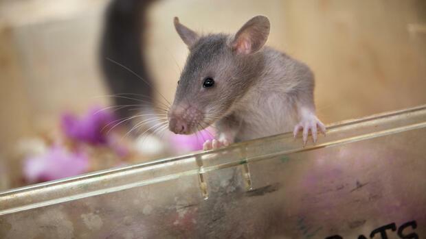 artenschutz in tansania mit ratten gegen wilderer. Black Bedroom Furniture Sets. Home Design Ideas