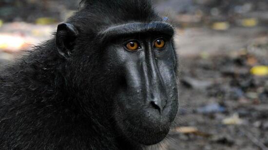 Lösung im Streit über Urheberrechte an Affen-Selfie