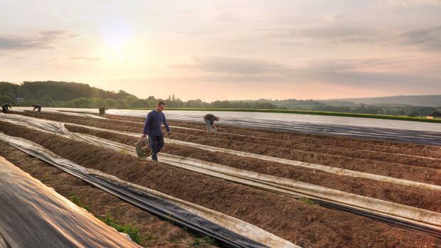 Landwirtschaft: Spargelbauer suchen dringend Erntehelfer