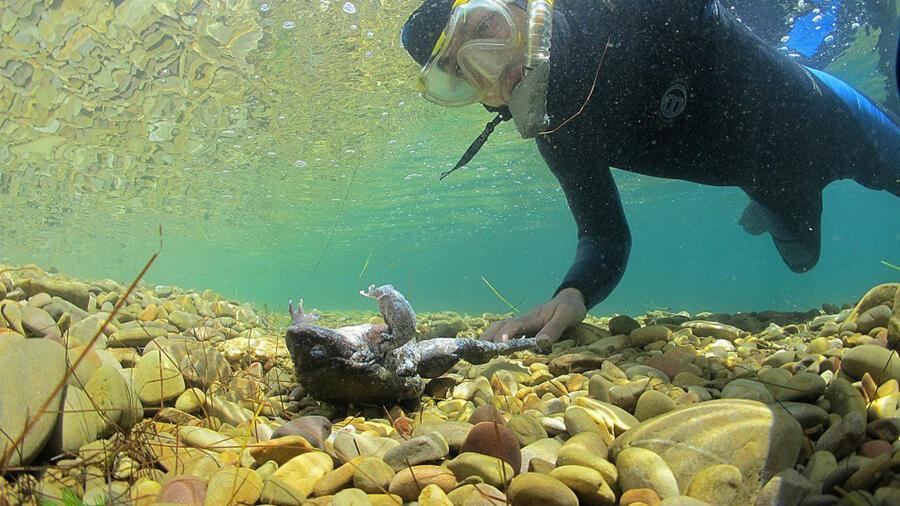 Viele Fische, die Dubs sind