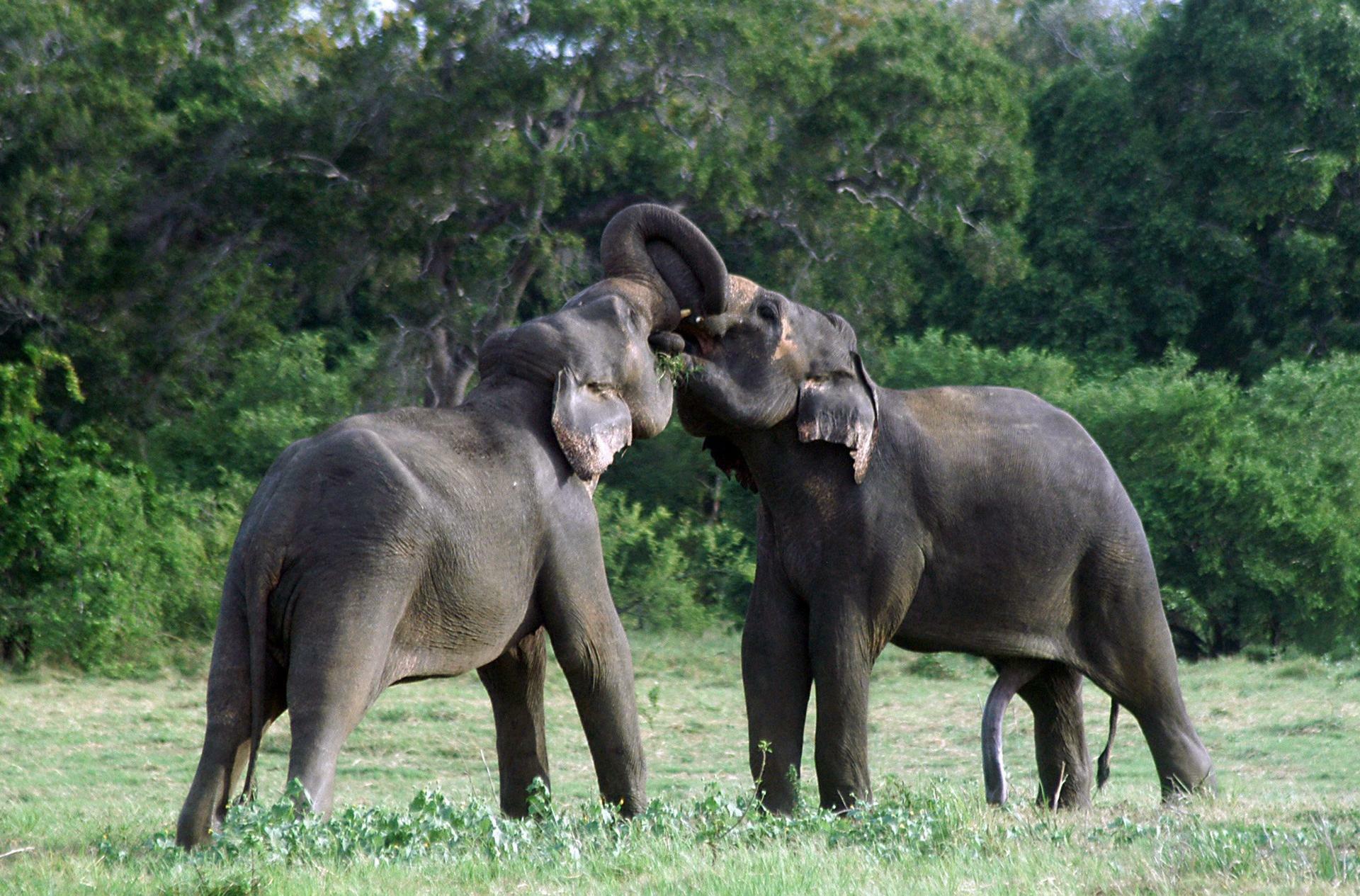 Gemeinsam stark: Elefanten lösen komplexe Aufgaben gern im Team.  Quelle: REUTERS