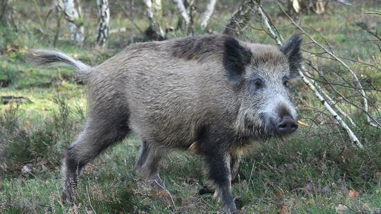 Afrikanische Schweinepest - Milliardenschäden befürchtet