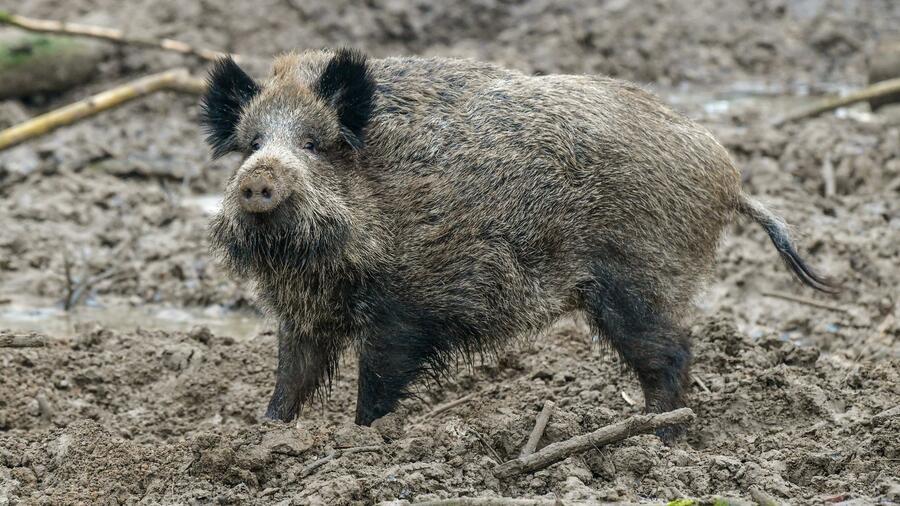 Schweinepest Danemark Will Grenzzaun Zu Deutschland Bauen